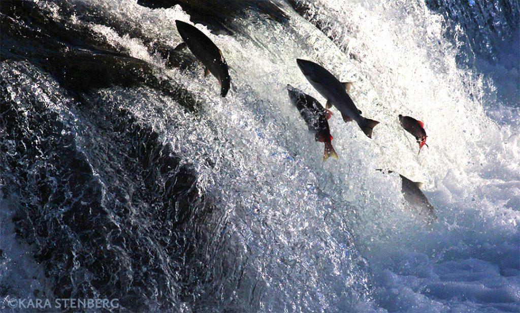 Brooks Lodge Salmon Ascending Brooks Falls