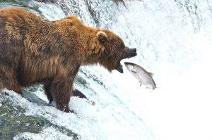 Brooks Lodge Brooks Falls Bear Catching Salmon