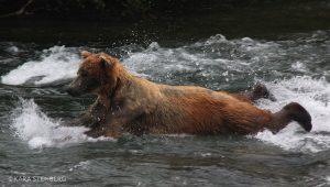 Brooks Lodge Swimming Bear