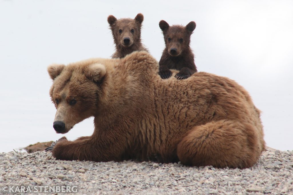 Brooks Lodge bear sow and cubs by Kara Stenberg