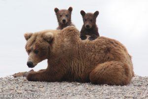 Brooks Lodge bear sow and cubs by Kara Stenberg